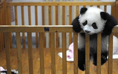 panda_1551518c